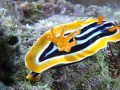 Csigák - Nudibranch